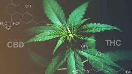 Kenevir Tohumu Yağı ve Kenevir Yağı THC ve CBD Arasındaki farklar nelerdir?